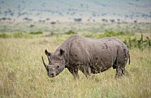 masai_mara_national_reserve_rhino